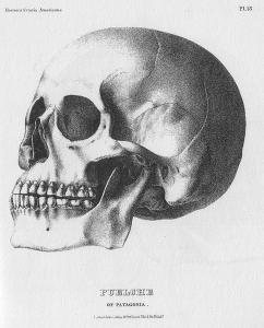 Crania Americana illustration